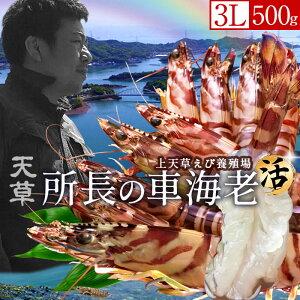 天草ブランド 所長の車海老 えび 活 超特大【3L】500g(8-11尾)ジャンボ 刺身 車えび 生くるまえび 熊本県産 クルマエビ 養殖場 生きたまま箱詰め 新鮮 車エビ ランキング おすすめ 人気通販 産