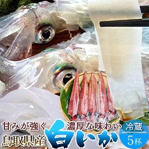 いか 白イカ 生き 鳥取県産 烏賊 剣先いか活造り ケンサキイカ イカの女王 [5杯・約1.4kg] 白いか 漁火 刺身 イカソーメン いかさし いか焼き 生食用 詰め合わせ 日本海 山陰沖 ふるさと 新鮮