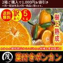 【 送料無料 】《 訳あり 》 樹上熟成 葉付き ポンカン 5kg (約35玉〜45玉入り) ※種があります ご家庭用 甘い 柑橘 …