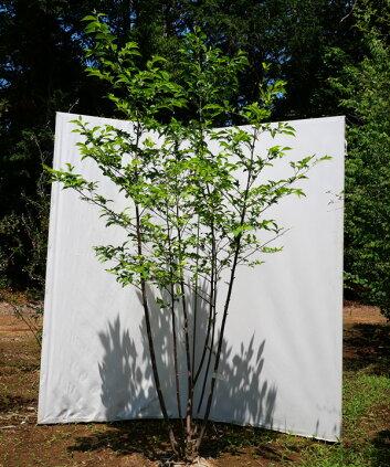 花と樹形が人気の落葉樹白花エゴノキ株立ち