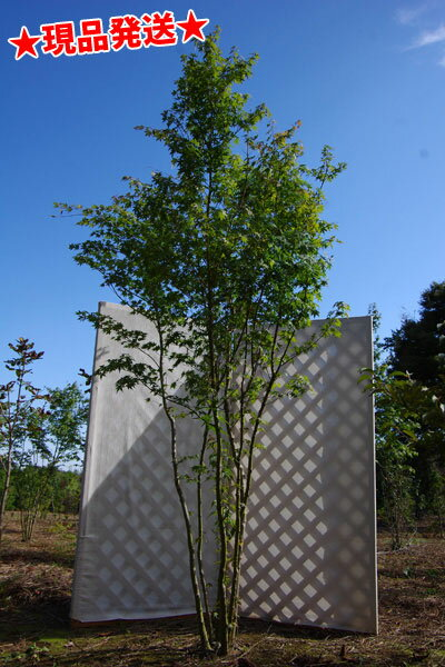 イロハモミジ 株立 2.3m-2.5m程度(根鉢含まず) 落葉樹 庭木 シンボルツリー