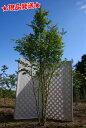 イロハモミジ 株立 2.3m-2.4m程度(根鉢含まず) 落葉樹 庭木
