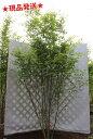 イロハモミジ 株立 2.6m-3.0m程度(根鉢含まず) 落葉樹 庭木