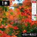 【1本】イロハモミジ 苗木 高さ1.0m程度 【6か月枯れ保証】