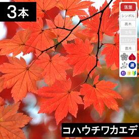 【3本】コハウチワカエデ 苗木 高さ30cm程度 【6か月枯れ保証】