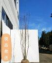 【不在置きOK限定販売価格】コハウチワカエデ 株立2.6m程度(根鉢含まず)