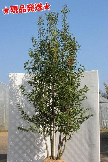 繊細な常緑樹ソヨゴ株立ち
