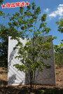 繊細な常緑樹ソヨゴの本株立ち