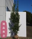 【不在置きOK限定販売価格】ソヨゴ メス 株立 2.2m〜2.3m程度(根鉢含まず)
