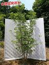 ヤマボウシ 白花 株立 2.0m-2.2m程度(根鉢含まず) 落葉樹