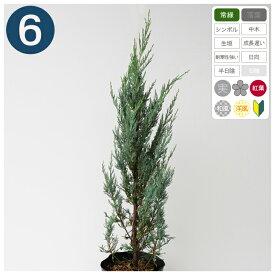 6本 /ムーングロー 樹高70cm〜100cm程度 ポット直径21cm コニファー ◆送料無料