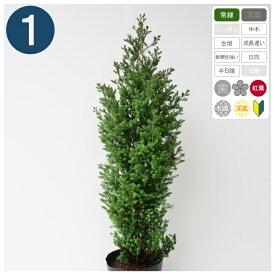 1本 / レッドスター 樹高80〜100cm程度 ポット直径21cm コニファー