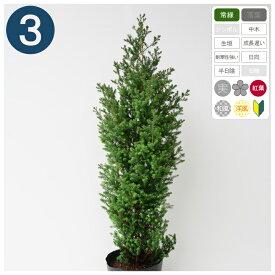 3本 /レッドスター 樹高80〜100cm程度 ポット直径21cm コニファー