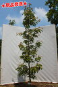常緑ヤマボウシ「ホンコンエンシス」単木 2.5m-2.7m程度