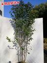 常緑ヤマボウシ ホンコンエンシス 株立 2.0m〜2.2m程度(根鉢含まず)