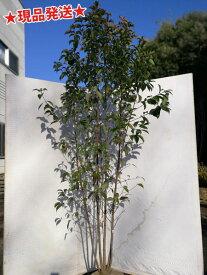 常緑ヤマボウシ株立 1.8m-1.9m程度(根鉢含まず)