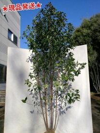 常緑ヤマボウシ株立 2.0m程度(根鉢含まず)