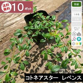 【10ポット】【送料無料】「コトネアスター レペンス」 ポット直径10.5cm