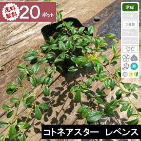 【20ポット】【送料無料】「コトネアスター レペンス」 ポット直径10.5cm