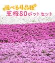【良苗】選べる4品種 芝桜(シバザクラ)80ポットセット(20個×4品種) 9cmポット苗【送料無料】