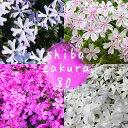 【良苗】選べる4品種 芝桜(シバザクラ)80ポットセット(20個×4品種) 9cmポット苗