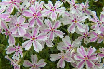 芝桜(シバザクラ)「タマノナガレ(多摩の流れ)」の花