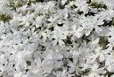 【送料無料】芝桜(シバザクラ)「モンブランホワイト」80個 ポット直径9cm