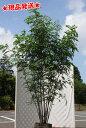 シマトネリコ 株立 2.3〜2.4m程度 (根鉢含まず)