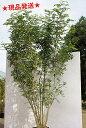 【現品発送】 シマトネリコ 株立 樹高2.2m-2.6m程度(根鉢含まず) 【6ヶ月枯れ保証】