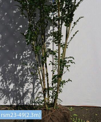 rsm23-49株元