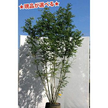 【自然樹形】シマトネリコ株立2.0m〜2.1m程度(根鉢含まず)