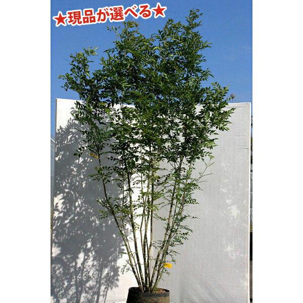 【現品発送】シマトネリコ株立 2.0m〜2.2m程度(根鉢含まず)