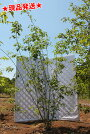 幹肌と樹形を楽しめるアオダモ