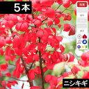 ◆送料無料◆【5本】 ニシキギ苗木 高さ30cm〜60cm程度◆【6ヶ月枯れ保証付き】