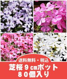 【送料無料】芝桜(シバザクラ)80個入り選べる2色(40個×2色)