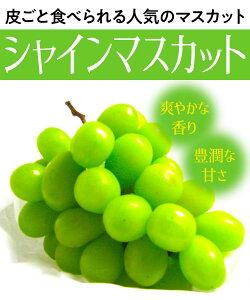 【ブドウ苗木】シャインマスカット 1年生 高さ50cm〜70cm