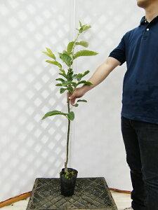 【産地直送】渋皮が簡単に剥けます「白栗(はくり)」樹高0.7〜1.0m程度2年生