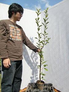 【産地直送】黄色いりんご!特有の芳香!「王林」樹高0.7〜1.0m程度2年生