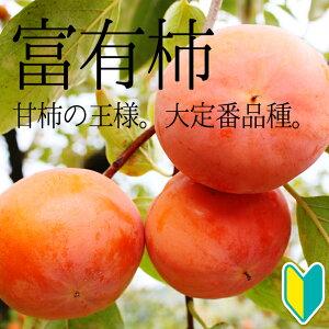 【産地直送】もうひとつの柿の代表品種!「富有(ふゆう)」高さ0.7〜1.0m2年生