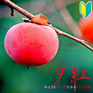 【産地直送】その名の通りまっかな赤柿「夕紅(ゆうべに)」高さ0.7〜1.0m2年生