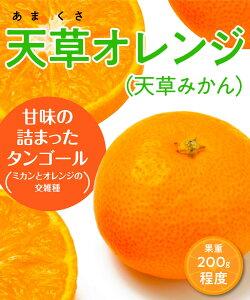 【柑橘苗木】【2年生苗】天草オレンジ(天草みかん) 高さ70cm〜1.0m