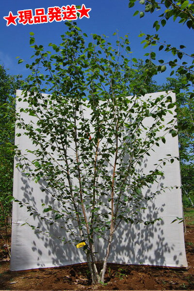 白樺 シラカバ ジャクモンティー 株立 2.3m-2.5m程度(根鉢含まず) 落葉樹 庭木 シンボルツリー