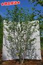 白樺 シラカバ「ジャクモンティー」 株立 2.3m-2.4m程度(根鉢含まず)