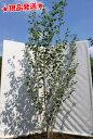 白樺 シラカバ「ジャクモンティー」 株立 2.4m程度(根鉢含まず)