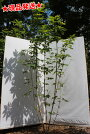 紅葉の美しい千里眼の木「メグスリノキ」