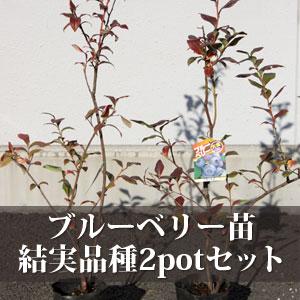 ブルーベリー苗結実品種2potセット