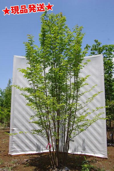 ヒメシャラ 株立 2.2m-2.6m程度(根鉢含まず)