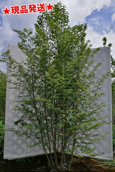 ヒメシャラ 株立 2.2m-2.6m程度(根鉢含まず) 落葉樹 庭木