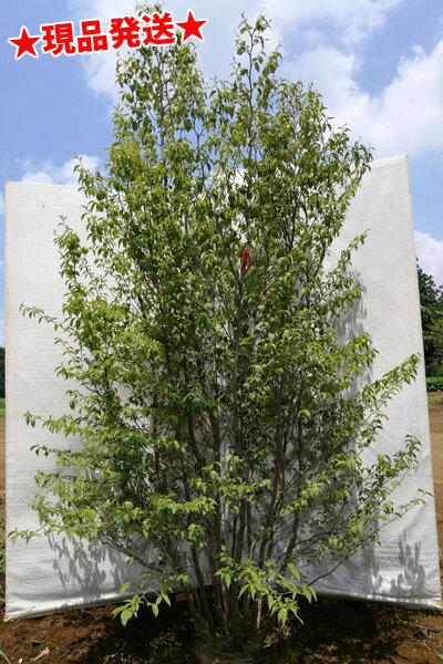 ヒメシャラ 株立 2.1m-2.4m程度(根鉢含まず) 落葉樹 庭木 シンボルツリー