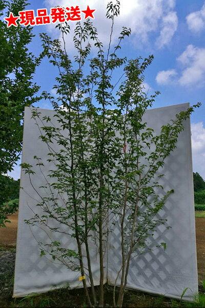 ヒメシャラ 株立 2.2m-2.5m程度(根鉢含まず)